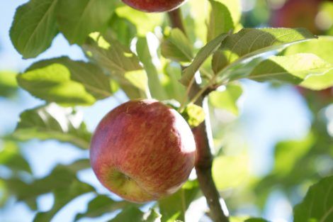 Cider Apple at Devoto Orchards, known for their dry hard ciders from organic apples